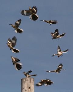 Northern_mockingbird_flying