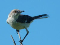 Northern_Mockingbird